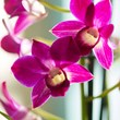 Orchid Dendrobium Sa-Nnok Purple Happiness