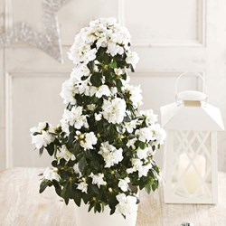 White Azalea Tree: Potted House Plant