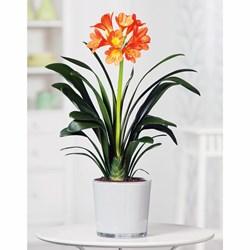 Clivia Miniata Plant: Indoor Houseplant