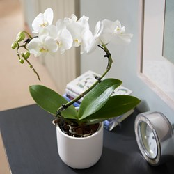 Orchid Balletto: in Ceramic Pot