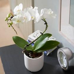 Orchid Balletto: in Ceramic Pot