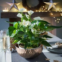 Anthurium Table Top - White: Exotic Houseplant