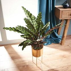 Calathea Lancifolia: Houseplant