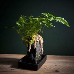 Lava Plant Davallia: Potted House Plant