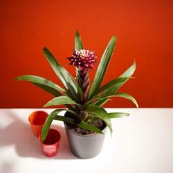 Guzmania Francesca: Tropical Houseplant