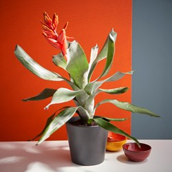 Aechmea Pepita Elegant Flames: Tropical Houseplant