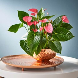 Pink Anthurium Table Top: Exotic Houseplant