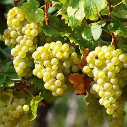 Perlette Grape Vine & White Wine