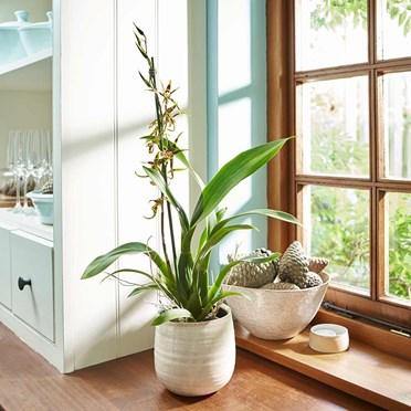 Orchid Brassia Summer Dream