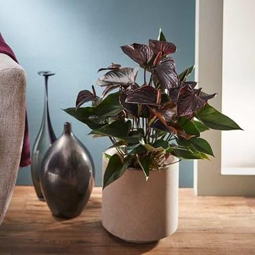 Anthurium Beauty Black