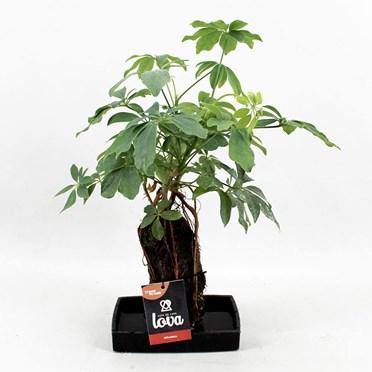 Lava Plant Schefflera