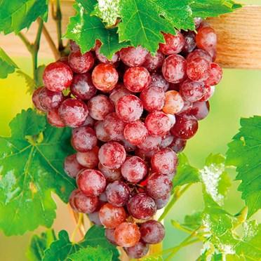 Flame Grape Vine & Red Wine