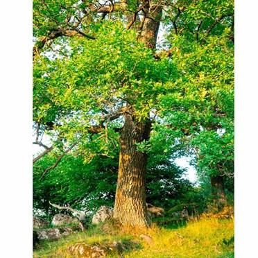 Grow Your Own Oak Truffle Tree