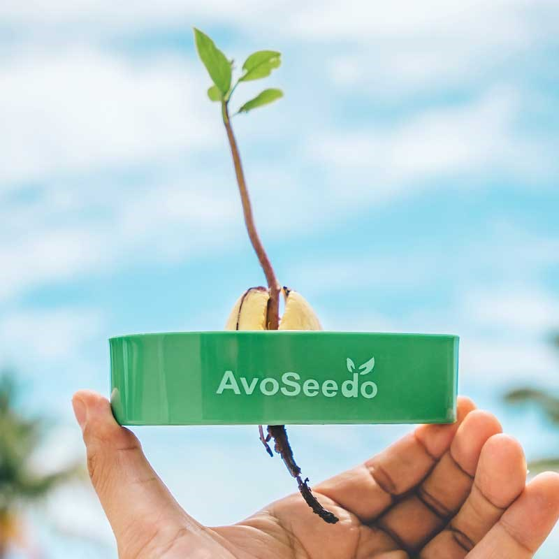 Avoseedo grow your own avocado tree the present finder for Grow your own avocado tree from seed